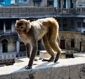 Städtischer Affe geht auf eine Wand Stockfoto