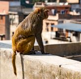 Städtischer Affe schaut heraus über Stadt Stockfoto
