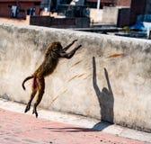 Städtischer Affe springt auf eine Wand Stockfoto