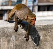 Städtischer Affe zeigt Ärger, beim Sitzen auf einer Wand Stockbild