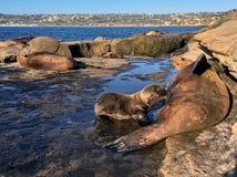 Städtischer Kalifornischer Seelöwe der wild lebenden Tiere Stockbilder