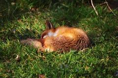 Städtischer Schlafenfuchs auf dem Gras Stockfotos
