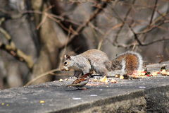 Städtisches Eichhörnchen Stockbilder