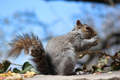 Städtisches Eichhörnchen Stockfotografie
