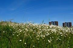 Städtisches Feld von Gänseblümchen an einem sonnigen Tag mit blauen Himmeln Stockbild