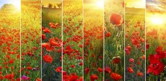 Ställ in av bakgrunder med röda vallmo i sommar royaltyfri fotografi