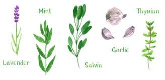 Ställ in av gröna örter, lavendel, mintkaramellen, vis man, salviaen, vitlök, timjan, vattenfärgillustration vektor illustrationer