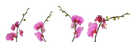 Ställ in av härliga purpurfärgade orkidéphalaenopsisblommor royaltyfri bild