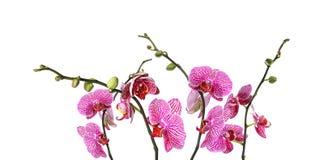 Ställ in av härliga purpurfärgade orkidéphalaenopsisblommor på vit royaltyfri fotografi