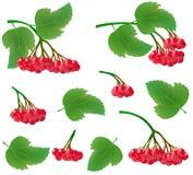 Ställ in av realistiska klungor av viburnumbär med sidor Röda bär och gröna sidor på en trädfilial Passande för att bearbeta royaltyfri illustrationer