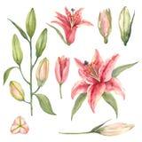 Ställ in av rosa dagdrömmareliljor och liljaknoppar på en vit bakgrund vektor illustrationer