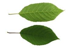 Ställ in av två gröna sidor av söt körsbär som isoleras på den vita bästa och nedersta sidan för bakgrund, av bladet royaltyfri fotografi