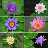 Ställ in collage av waterliliesblommor Royaltyfria Foton