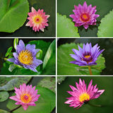 Ställ in collage av waterliliesblommor Arkivfoton
