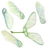 Ställ in grönt lönnfrö isolerat på den vita vektorillustrationen royaltyfri illustrationer