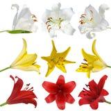 Ställ in liljan på vit bakgrund isolerad Royaltyfria Bilder
