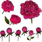 Ställ in med blommor och knoppar av pionen på en vit bakgrund royaltyfria bilder