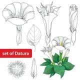 Ställ in med Daturastramonium eller taggäpplet Giftig växt Blomma, leavs, knopp och frukt på vit bakgrund Royaltyfria Bilder