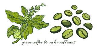 Ställ in med den gröna kaffefilialen med bönor Botanisk teckning vektor Royaltyfri Foto