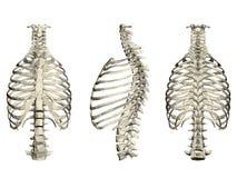 Ställ in med den mänskliga ribcage och ryggen 3d Framdel, sida och bakre sikt också vektor för coreldrawillustration stock illustrationer