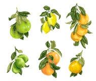 Ställ in med frukter i vektor liksom limefrukt, citronen, apelsinen, pomeloen och grapefrukten i grafisk illustration vektor illustrationer