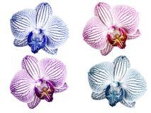 Ställ in rosa färg-vit för orkidér blåvita violett-vit turkos-vit blommor Isolerat på vitbakgrund med den snabba banan closeup royaltyfria foton