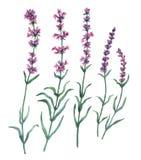 Ställ in samlingen av blom- lavendelbeståndsdelar Royaltyfri Bild