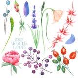 Ställ in samlingen med de isolerade vattenfärgskogbeståndsdelarna (bär, lavendel, vildblommor och filialer) stock illustrationer