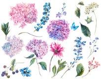 Ställ in tappningvattenfärgbeståndsdelar av vanliga hortensian Arkivfoto