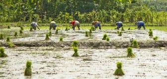 Ställ upp av bönder planterar ris arkivfoto