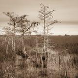 Ställa i skuggan Cypress Trees Arkivfoton