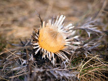 Ställa i skuggan den carline thistlen i vinter Arkivfoto