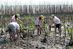 Ställa upp som frivillig att arbeta på unga mangroveträd för växt arkivfoto
