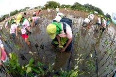 Ställa upp som frivillig att arbeta på unga mangroveträd för växt royaltyfri fotografi