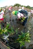 Ställa upp som frivillig att arbeta på unga mangroveträd för växt arkivfoton