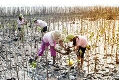 Ställa upp som frivillig att arbeta på unga mangroveträd för växt arkivbilder