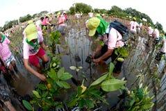 Ställa upp som frivillig att arbeta på unga mangroveträd för växt royaltyfri bild