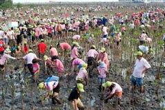 Ställa upp som frivillig att arbeta på unga mangroveträd för växt royaltyfria foton