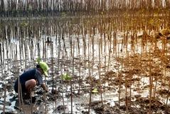 Ställa upp som frivillig manligt arbete på unga mangroveträd för växt royaltyfri foto