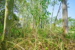 Ställning av högväxta slanka eukalyptusträd Arkivfoton