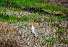 Ställning för fågel för nötkreaturägretthäger i mitt av risfälten som skördas för att söka för mat royaltyfri fotografi