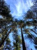 Ställning för högväxta träd under den blåa himlen fotografering för bildbyråer