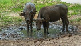 Ställning för två buffel i gyttjan Royaltyfria Bilder