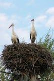 Ställning för två storkar i deras rede Fotografering för Bildbyråer
