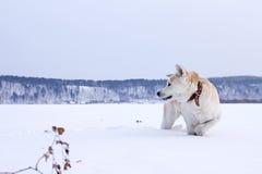 Ställningar för den japanAkita Inu hunden i snön med lyftt fryst tafsar i berget Royaltyfri Bild