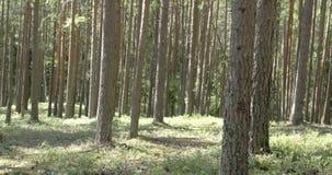 Stämme der Kiefer im Wald stock footage