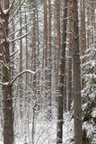 Stämme der Kiefer im Winter Lizenzfreie Stockbilder