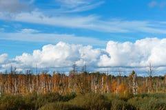 Stämme der weißen Birke auf Sumpfgebiet, sonniger Herbsttag im Sumpf, blauer Himmel, weiße Wolken stockfotografie