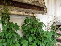 Stämme des Fünffingers, der auf der Treppe wächst, verlängern herauf die Abdeckung einer alten schäbigen Wand Stockbilder