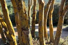 Stämme einer Gruppe grüner Eichen Stockfotos